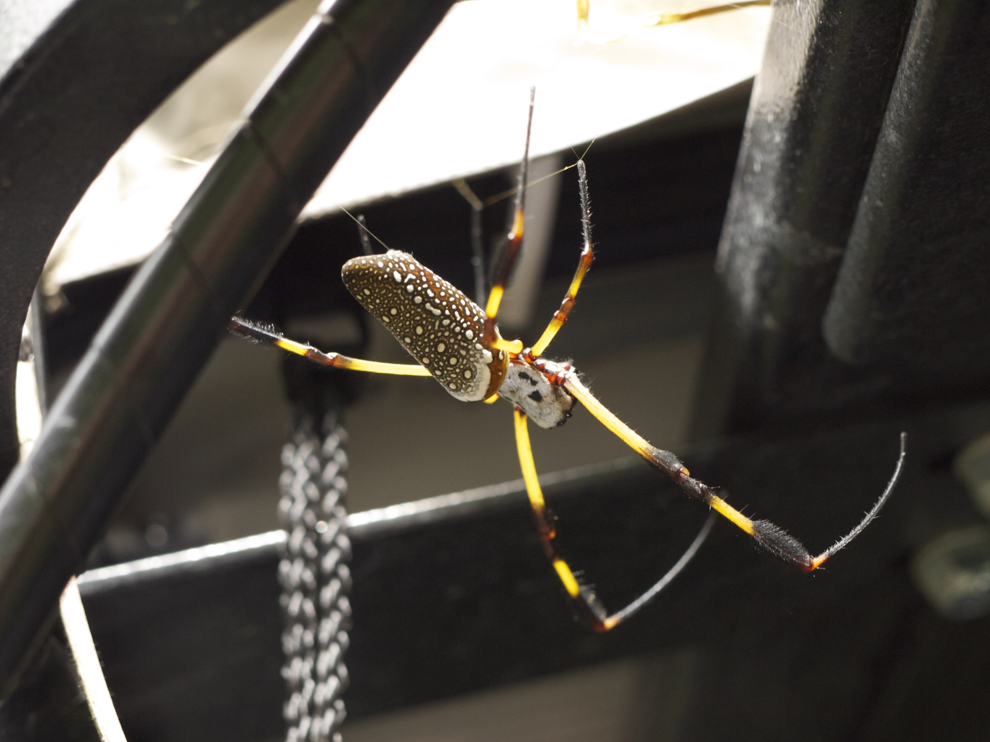Golden orb-weaver makes impressive company in the jungle